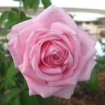 750px-Epcot_rose